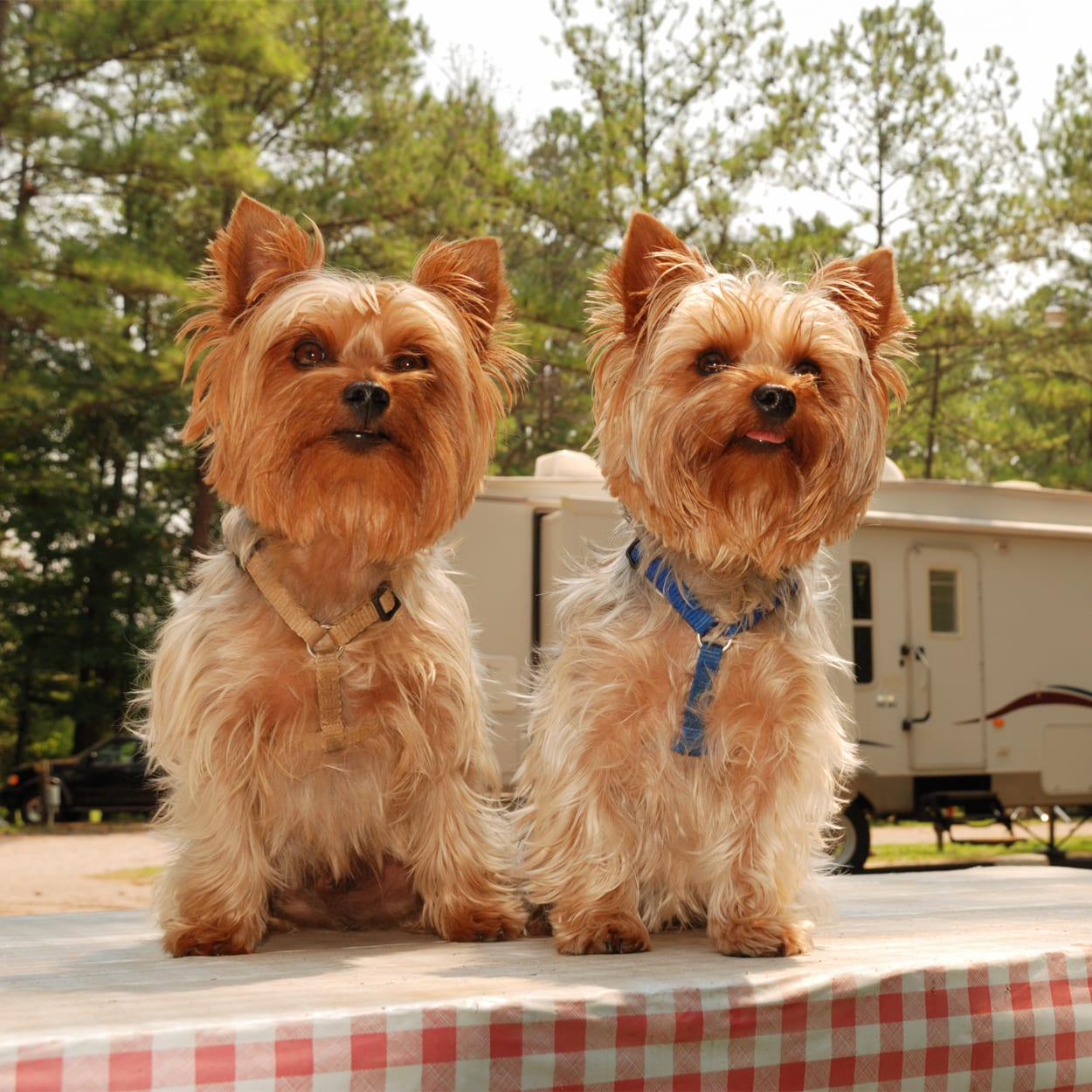 Camping Yorkies sitting on picnic table in campground.